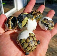Baby tortoises....aww.