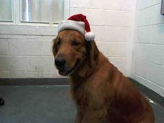 SAFE --- GOLDY (A1663898) I am a male gold Golden Retriever.  The shelter staff think I am about 2 years old.  I was found as a stray and I may be available for adoption on 12/09/2014. — hier: Miami Dade County Animal Services. https://www.facebook.com/urgentdogsofmiami/photos/pb.191859757515102.-2207520000.1417652491./883301265037611/?type=3&theater