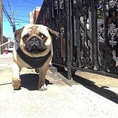 Larry the Pug  (@apugnamedlarry) • Instagram photos and videos