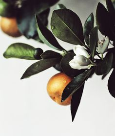 my favorite scent on earth: orange blossoms