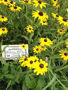 Black Eyed Susans in Wildflower Farm botanical garden.
