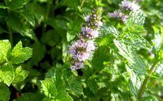 Marokkanische Minze (Pflanze)  Mentha spicata v. crispa