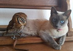 """Meet Cleo and Forbi, a cat and an owl who are best friends. Brazillian biologist André Costa took in the little owl when it was still a baby. The cat and the baby owl became good friends, and the kitty watched little owl grow. """"The happiness does not stop there,"""" he said. (Scroll down for video) Cle..."""