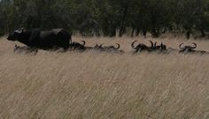 Wildebeest Migrations Save up to $ 100 to Masai Mara for a goup of four and above @ USD 350 & Ksh. 14, 500. contact 0710798172