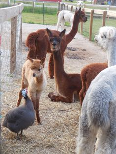36 hour old cria checking out Gus the guinea...