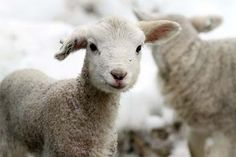 cute sheep images | Email This BlogThis! Share to Twitter Share to Facebook