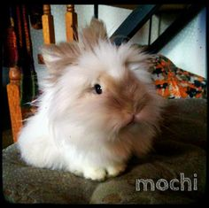 My lionhead bunny Mochi is the most adorable bunny ever :)