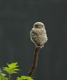 beautiful-wildlife:  Cute by Marco Rolleman Little Owl on the lookout