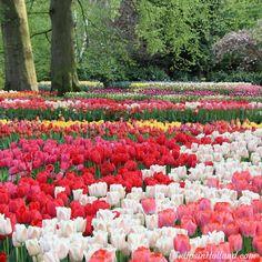 Tulips!!!! ;-) #travel to the #tulipsinholland spring 2017