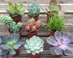 2 LARGE SUCCULENT PLANTS 4 containers by 5starsucculents on Etsy
