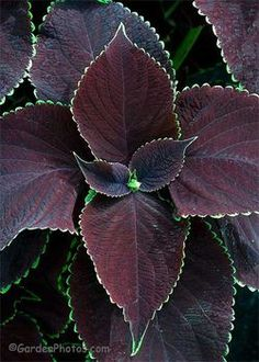 Coleus Chocolate Mint Solenostemon, purple foliage with green edges. These are annuals so they won't live through Winterunless you live in zone They grow large, tall and trail well. Container Plants, Container Gardening, Gothic Garden, Black Garden, Foliage Plants, Black Flowers, Shade Plants, Outdoor Plants, Shade Garden