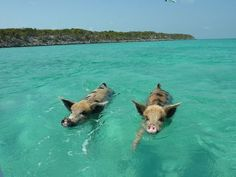 The Swimming Pigs of Big Major Cay, in the Bahamas