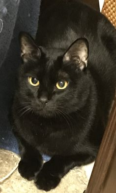 Black Cats Cute Cats And Kittens, I Love Cats, Crazy Cats, Kittens Cutest, Black Animals, Animals And Pets, Cute Animals, Black Cats, Pretty Cats