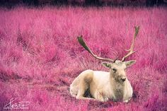 Deer photography, animal photography, fantasy art, pink decor, child's room, fine art photography, framed print, mounted print, stag picture