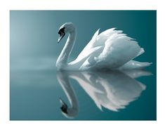 The most beautiful piece. The poem is so beautiful as well. Claude Debussy : Clair de Lune, for Piano (Suite Bergamasque No. Suite Bergamasque, Beautiful Swan, Beautiful Birds, Swans, Swan Animal, Claude Debussy, Swan Lake Ballet, Swan Song, White Swan
