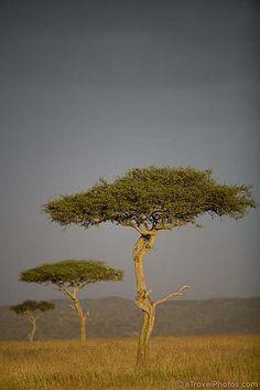 Acacia Trees. Masai Mara, Kenya
