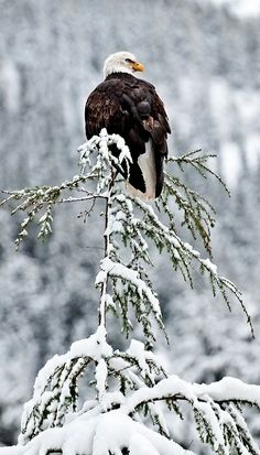 Bald Eagle on Snowy Tree Chilkoot.. (by Randall K. Roberts)