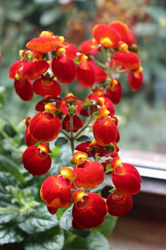 File:Zimmer-Pantoffelblume (Calceolaria ...