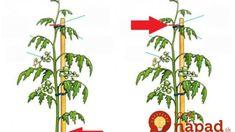Najlepšia rada, ako zvýšiť úrodu rajčín: Čím skôr každú rajčinu takto upravte a pomôžete jej k omnoho väčšej úrode! Garden Inspiration, Gardening, Flowers, Plants, Drink, Food, Lawn And Garden, Beverage, Essen