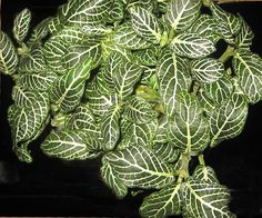 Onia Nerve Plant Or Mosaic The Veined Leaves Of These Houseplant Are