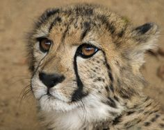 Ayanna the female African cheetah born 9/1/14, can be seen at Backstage Pass.