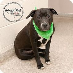 VERY URGENT!  I am at a kill shelter in Troy, OH - Pit Bull Terrier. Meet Daisy, a dog for adoption. http://www.adoptapet.com/pet/12600398-troy-ohio-pit-bull-terrier