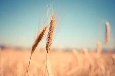 landscape nature grass plant sky field wheat grain prairie sunlight morning summer travel explore re Free Stock Photos, Free Photos, Free Images, Wheat Field Photos, Close Up, Fotografia Macro, Farm Photo, Wheat Fields, Autumn Scenery