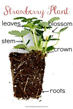 Strawberry STEM Challange : Growing Strawberries with Kids in the Garden The Educators' Spin On Strawberry Crafts, Strawberry Garden, Strawberry Patch, Strawberry Art, Strawberry Varieties, Cherry Tomato Plant, Planting For Kids, Stem For Kids, Plant Science