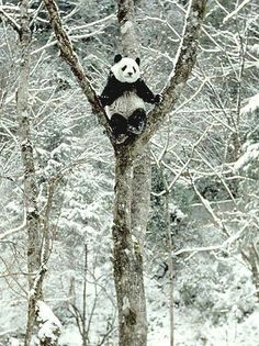 Panda in winter. Nature Animals, Animals And Pets, Baby Animals, Cute Animals, Lovely Creatures, Winter Scenery, Tier Fotos, Mundo Animal, Winter Wonder