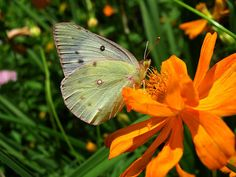 Clouded Sulphur (Colias philodice) « my butterfly collection