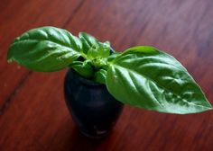 How to harvest basil and make stem cuttings for rooting at the same time.