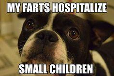 boston terrier fart meme