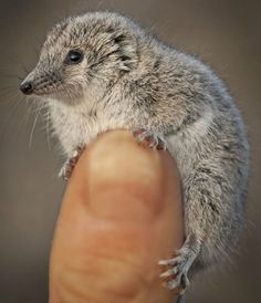 Giles' planigale is a tiny marsupial mouse that feeds on small lizards, snakes and mammals. Animals And Pets, Baby Animals, Funny Animals, Cute Animals, Strange Animals, Small Animals, Cute Creatures, Beautiful Creatures, Animals Beautiful