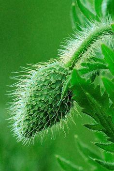 Papaver Green Poppy Bud by T.takako
