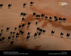 Look closely ... the camels are the little white lines in the photograph ... the black shapes you see are just the shadows.  The photo was taken directly above these camels at sunset.