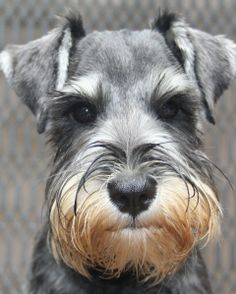 Schnauzers - great breed for families with children Enough cannot be said when bringing any dog into the home - good socialization and training.