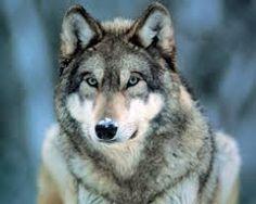 Zane, in wolf form