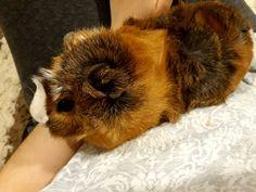 Guinea pig  lap time
