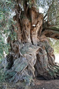 un olivo añoso.