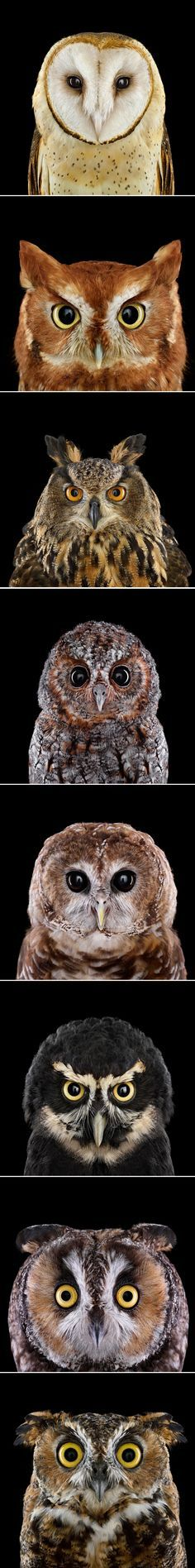 Who's Who: These owls may wear the same game face, but when it comes to personality, they're as different as day and night. Photos by Brad Wilson. | Audubon Society
