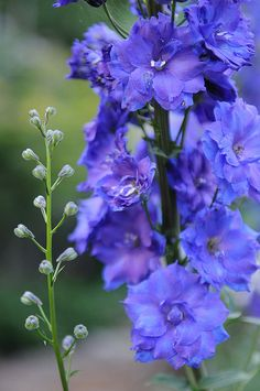 New Millenium delphiniums from New Zealand. Amazing plants that are worth the wait.  Another favorite of mine.