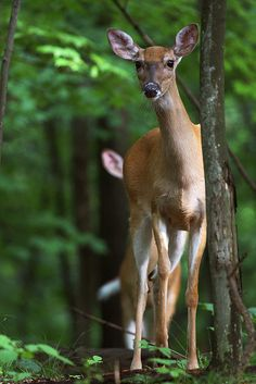 This doe kept walking closer and closer to me. Behind her is her one year old fawn.