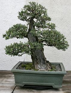 We all know the basics of Bonsai gardening but that is only the beginning. To really grow a masterpiece Bonsai good styling skills are required. Styling in Bonsai Plants, Bonsai Garden, Bonsai Trees, Miguel Angel, Chelsea Flower Show, Olive Tree, Fountain, How To Become, Sicily Italy