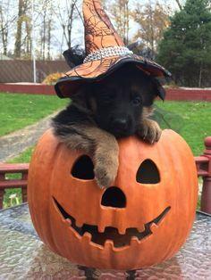 German Shepherd cutie pie