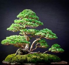 Bonsai Forest, Bonsai Garden, Garden Trees, Bonsai Styles, Buxus, Ikebana, Natural World, Rafting, Deco