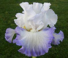Snow Day - Sutton's Iris Garden