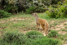 A Yellow Mongoose keeping watch for predators. Private Games, Mongoose, Game Reserve, Predator, Mammals, Kangaroo, African, Watch, Yellow
