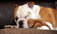 An unlikely pairing: Harley the bulldog becomes best friends with Tigger the Kitten who was abandoned in a church