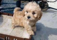 Cavachon breeders, dog breeders, cavalier king charles spaniels, bernese mountain dogs, goldendoodles, puggles
