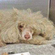 Miniature poodle stray so neglected and so terrified in busy California shelter